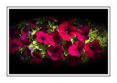 Sunny smiles (Audrey A Jackson) Tags: canon60d valencia spaina petunia colour cerise petals smartphotoeditor