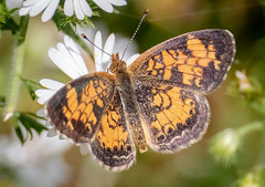 Pearl Crescent (tresed47) Tags: 2018 201810oct 20181010chestercountymisc butterflies canon7dmkii chestercounty content crescent extonpark fall folder insects october pearlcrescent pennsylvania peterscamera petersphotos places season takenby us