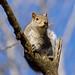 Squirrel 15