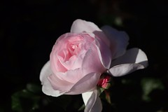Jardin de Granville      Boyer Onyx  F = 100 (情事針寸II) Tags: クローズアップ 自然 花 薔薇園 薔薇 pink oldprojectionlens bokeh closeup nature fleur flower rosegarden rose kasteelcoloma boyeronyxf100