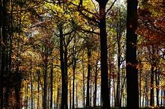 Der Goldene November 2018 - The Golden November 2018 (cammino5) Tags: buchenwald birklingen steigerwald gegenlicht goldenernovember franken bayern deutschland november 2018