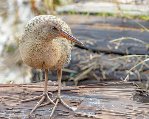 Ridgway's Rail during King Tide