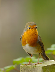 Robin (Wieslaw Byra) Tags: robin animals birds kent