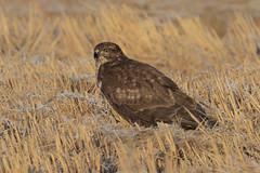 Poiana (Ricky_71) Tags: common buzzard swamp winter wild nikon