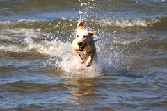 Brouwersdam rennen in het water (Omroep Zeeland) Tags: brouwersdam hond bal