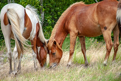 Two heads are better than one by Angela Multhup (Maryland DNR) Tags: 2018 photocontest wildlife mammals ponies horses assateague