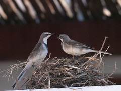 mumma and dadda (grannie annie taggs) Tags: birds pair nature wagtails nest