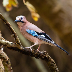 Jay (Richard J Hunt) Tags: nature wildlife formbywoods canon700d birdwatching bird jay