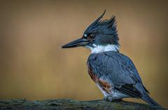 Juvenile Kingfisher (stevebfotos) Tags: birds canarycreek greatmarsh kingfisher lewes shorebirds delaware unitedstates us