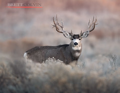 Tines Up (Fly to Water) Tags: mule deer big game animal odocoileus hemionus buck wild wildlife professional photography utah antlers trophy nontypical non typical outside outdoors adventure nikon 600mm f4 fl