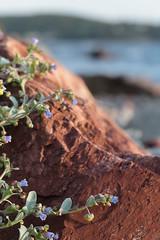 Sea Longwort (peterkelly) Tags: digital canon 6d northamerica canada newfoundlandlabrador sandstone rock boulder cavendish plant trinitybay beach sealungwort mertensiamaritima