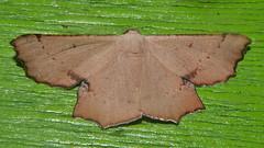 Geometrid Moth Cernia amyclaria Oenochrominae Geometridae Airlie Beach rainforest P1110335 (Steve & Alison1) Tags: geometrid moth cernia amyclaria oenochrominae geometridae airlie beach rainforest