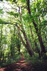 Into the woods (auqanaj) Tags: 20180620180701 kodakgold200 nikonf3hp analog cewescanat72dpi film wald forest buche beech path pfad trampelpfad erzberg amberg bayern bavaria germany deutschland