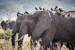 Duo... (Manon van der Lit) Tags: afrika africa uganda oeganda murchison national park wildlife safari gamedrive elephants oxpeckers grey eating duo two olifant grijs