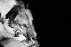 (andaradagio) Tags: andaradagio bianconero bw canon dog cane miglioramicodelluomo nadiadagaro rifugiopercaniagriliaonlus