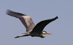Grey Heron -Ardea cinerea - Danube Delta Romania (2) (Ann Collier Wildlife & General Photographer) Tags: greyheron ardeacinerea danubedelta romania inflight heron birds bird