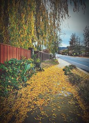 """Follow The Yellow Leaf Road"" (bradhodges09) Tags: willowtrees suburbanexploration citystreets sidewalks autumnleaves fallleaves autumn fall fallingleaves goldleaves yellowleaves"