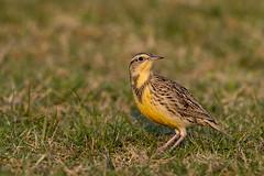 Eastern Meadowlark (Alan Gutsell) Tags: easternmeadowlark eastern meadowlark lark singing song katyprairie texas birds wildlife nature alan houston prairie yellow grass