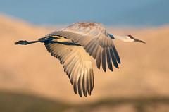 Sandhill Crane (Antigone canadensis) (Ron Wolf) Tags: antigonecanadensis bosquedelapachenwr gruidae gruiformes gruscanadensis sandhillcrane bird flight nature wildlife newmexico