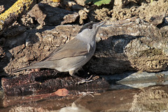 Capinera (Marcello Giardinazzo) Tags: capinera avifauna natura wild uccelli birds bird italia