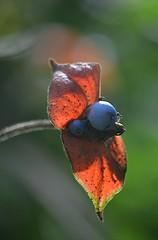 Fuzzy Hot Lips and its exotic blue berries (jungle mama) Tags: hotlipsberry blueberry red blue fuzzy fairchildtropicalbotanicgarden fairchildgarden susanfordcollins psychotriapeoppigiana labiosdeputa rubiaceae