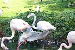 Photo-bombed Flamingo (Wildlife Terry) Tags: martin mere wildlife wetlands trust domestic escapee ornamental wildfowl waterbirds ducks geese swans lancashire northwestengland