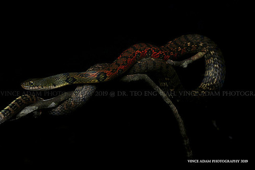 Desktop20 Young adult Triangle keelback (Xenochrophis trianguligerus) with stunning colors and pattern