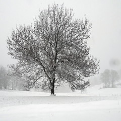 C'est beau un arbre en hiver (Jean-Marc Linder) Tags: square hiver winter inverno neige snow neve blanc white bianco arbre tree albero coth coth5 winterbeauty bw nb flickrchallengegroup flickrchallengewinner