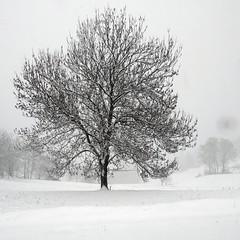 C'est beau un arbre en hiver (Jean-Marc Linder) Tags: square hiver winter inverno neige snow neve blanc white bianco arbre tree albero coth coth5 winterbeauty