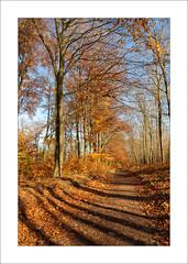 Autumn Beech Trees - v (Steve-T201) Tags: sherwoodforest nottinghamshire beechtrees autumn colours
