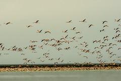 Flamencos (ameliapardo) Tags: flamencos laguna aves vetalapalma doñana sevilla naturaleza airelibre espacioprotegido fujixt2 fujinon70200