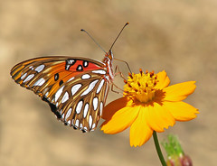 Gulf fritillary on wild cosmos (Vicki's Nature) Tags: gulffritillary orange spots butterfly cosmos yellow wildflowers etowahriverpark georgia vickisnature canon s5 0677 returnfragile