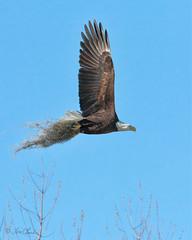 Bald Eagle (TomLamb47) Tags: nature wildlife bird baea bald eagle flight bif flying spanish moss canon 1d4 100400