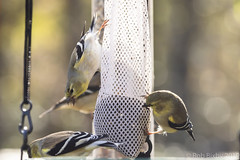 BackyardBirds_1-21-19-67 (RobBixbyPhotography) Tags: florida goldfinch jacksonville backyard birds