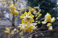 19o2770 (kimagurenote) Tags: ミツマタ edgeworthia edgeworthiachrysantha flower 東高根森林公園 higashitakane forest park 川崎市宮前区 miyamaekawasaki