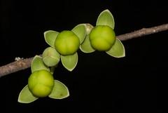 Simplicity Comes in Threes (zimbart) Tags: gorongosanationalpark mozambique sanctuary africa flora angiosperms magnoliales annonaceae artabotrys artabotrysbrachypetalus flowers