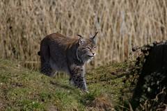 The lynx (dididumm) Tags: eurasianlynx lynxlynx walking watching beobachten herumlaufen eurasischerluchs ifiranthezoo