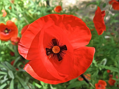 Poppies_0888_PB_1.JPG (Rikx) Tags: poppies adelaide southaustralia remembranceday 3f flickrsfantasticflowers red