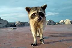 procione curioso (luporosso) Tags: natura nature naturaleza naturalmente nikon nikond500 nikonitalia procione mapache raccoon animali animals animaux animal