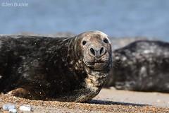 Adult Seal at Winterton (Jen Buckle) Tags: winterton wintertononsea nikon nikond7500 jenbuckle seal sea mammal mammals animal animals nature wildlife beach eyes sand greyseal