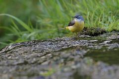 Grey Wagtail (steve whiteley) Tags: bird animal water stream nature river greywagtail motacillacinerea