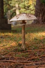 Parasol (Macrolepiota procera) (markhortonphotography) Tags: autumn surrey pinestraw mushroom parasol graveyard nature fungus gra fungi toadstool wildlife macro cemetery macrolepiotaprocera