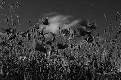 flores al cielo  _DSC4821 (Rodo López. Fotero... instantes en un clic) Tags: blancoynegro elbierzo españa explore excapture elcampo flickr flower floresdecastillayleon floresdeespaña floresdeleón flor amapolas nikon naturaleza nature nostalgia naturalezacautivadora naturebynikon spain sentimientos sol