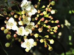 IMG_1978 (belight7) Tags: late flowering uk november winter