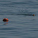 Harbor Seal and Lobster Pot