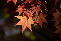 Fall Glow (jasohill) Tags: 2018 leaves color beautiful morioka nature photography life city park autumn iwate japan red