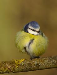 Blue tit (Wieslaw Byra) Tags: blue tit nature animals kent
