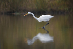 Patient Hunter (gseloff) Tags: greategret bird feeding water reflection nature wildlife animal horsepenbayou pasadena texas kayak gseloff