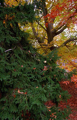 "Cincinnati - Spring Grove Cemetery & Arboretum ""Autumn Past The Evergreen"" (David Paul Ohmer) Tags: cincinnati ohio spring grove cemetery arboretum evergreen autumn tree fall"