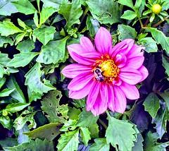 Pink Flower and Bee (pmorris73) Tags: arboretum pennstateuniversity statecollege pennsylvania century 2cee 3cee 4cee 5cee 6cee 7cee 8ca0319 9ca1819 1kb2319